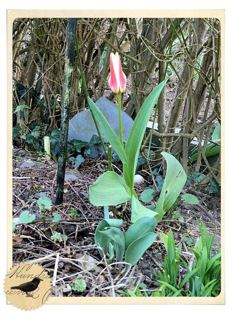 Die Rabenfrau: die erste Tulpe