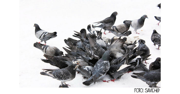 Die Rabenfrau über doofe und kluge Tauben